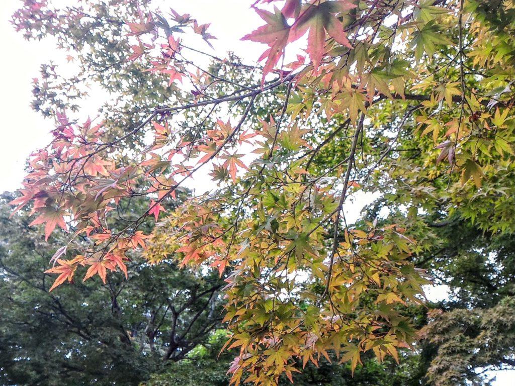 高尾山頂では樹々の穂先が色づきはじめていました。