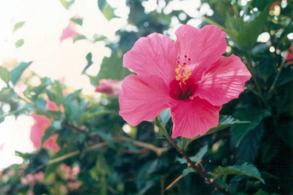 竹富島のハイビスカス